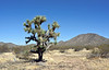 AZ-AOY-Yucca brevifolia 2021.3.2#5785.3. A fine mature Joshua Tree near Route 71 north of Aguila Arizona.