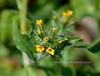 AZ-F-Amsinckia menziesii var.intermedia 2019.3.15#084. Common Fiddleneck. Picacho Peak Arizona.