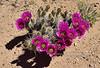 AZ-CTS-Echinocereus faciculatus 2018.4.12#1039, A Pink-flowered Hedge Hog Cactus. Route 191, south of Safford Arizona.
