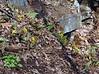 PA-F-Erythronium americanum 2006.4.13#0115.3. Yellow Trout Lilly. High Falls Creek, Bucks County Pennsylvania.