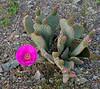 AZ-CTS-Opuntia basilaris 2020.3.29#9334.3. The beavertail Prickly Pear. Kingman Wash near Hoover Dam Arizona.