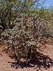 AZ-CTS-Cylindropuntia spinosior 2018.5.28#100. A Cane Cholla. Near Clarkdale Arizona.