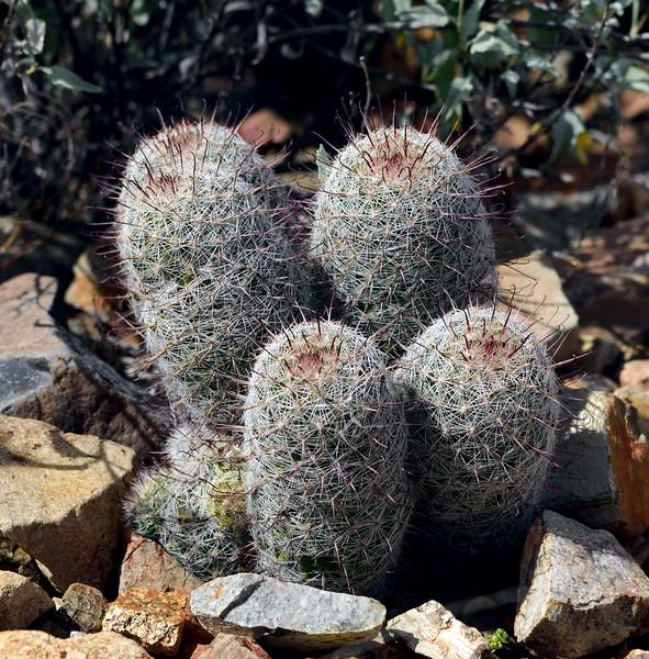 AZ-CTS-Mammilaria species 2019.3.20#140.3. A Fishhook Pincushion, maybe Graham's. Saguaro West NP, Arizona.