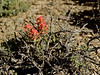 NV-F-Castilleja rhexifolia 2017.5.20#667. Alpine or Desert paintbrush. Route 93, Nevada.
