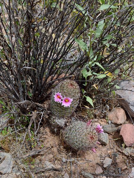 AZ-CTS-Mammilaria Grahamii 2020.3.31#9532.4. The Graham's NIpple Cactus near Lake Pleasant Arizona.