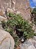 AZ-TS-Arctostaphylos pungens 2017.8.15#011.3. The Pointleaf Manzanita. A good example of a Manzanita with large pointed leaves. The Dells, near Prescott Arizona.