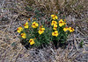 AZ-F-Zinnia grandiflora 2020.6.23#3747.3. Prairie Zinnia. Upper Agua Fria Yavapai County Arizona.