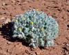 AZ-F-Psathyrotes pilifera 2019.10.16#2018.2. The Hairybeast Turtleback. Vermillion Cliffs east of Cliff Dwellers Canyon Arizona.