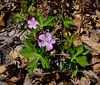 PA-F-Geranium robertianum 2016.5.12-Pike County Pennsylvania.
