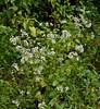 PA-F-Eupatorium rugosum 2020.9.14#0366.3. White Snakeroot. A poisonous plant. Lower Tinicum Township. Bucks County Pennsylvania.