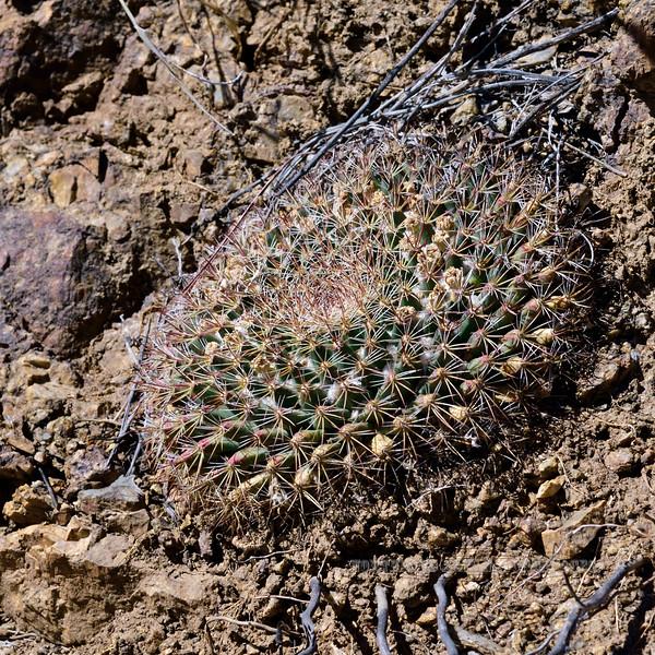 AZ-CTS-Mammilaria macdougalii 2019.5.27#055. Santa Rita Mountains, Arizona.