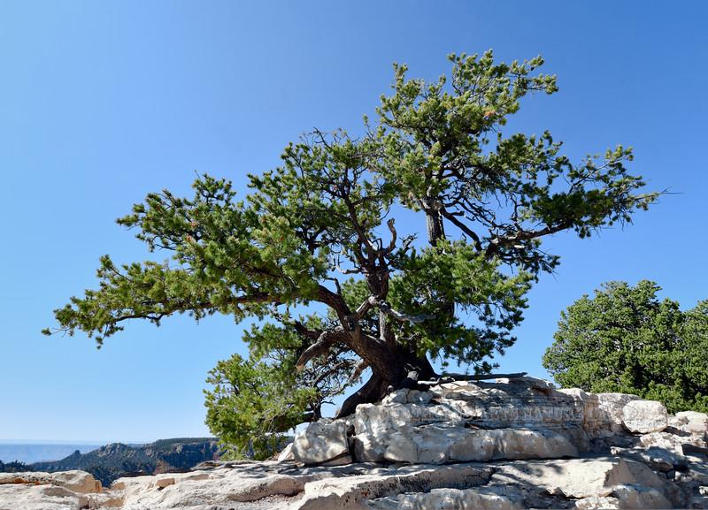 AZ-TS-Pinus edulis 2019.10.15#1649.3X. A Two-needle Pinion Pine hanging on the edge of the Bright Angel Trail. North Rim of the Grand Canyon Arizona.