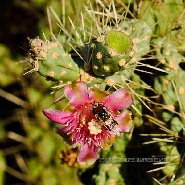 AZ-CTS-Cylindropuntia fulgida 2018.6.19#497. A Chainfruit Cholla blossum. East end of Roosevelt Lake Arizona.