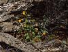 AZ-F-Sphaeralcea ambigua 2019.3.20#160, the Desert Globemallow. Saguaro West NP, Arizona.