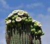 AZ-CTS-Carnegiea gigantea 2018.5.1#003.3. Saguaro blossoms at Picacho Peak State Park Arizona.