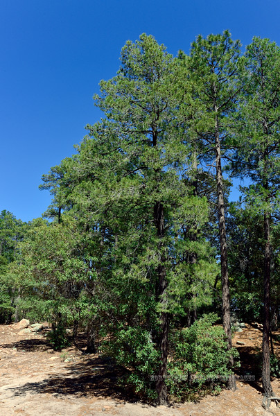 AZ-TS-Pinus arizonica 2020.6.9#3457.3. Arizona pine. 7500' on Mount Graham Arizona.