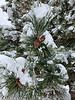 AZ-TS-Pinus  nigra 2021.1.26#0335.2. Austrian Black Pine. Prescott Valley Arizona.