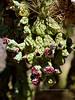 AZ-CTS-Cylindropuntia fulgida 2018.6.19#372. The Chainfruit Cholla. Gila County Arizona.