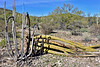 AZ-CTS-Stenocereus therberi 2019.3.5#095, the Organ Pipe Cactus. Organ Pipe Cactus NM, Arizona.
