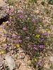 AZ-TS-Fagonia laevis, Fagonbush. 2020.2.25#6210.2. On the bank of an arroyo in the King Valley of Kofa Nat.Wildlife Refuge Arizona.