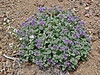 ID-F-Phacelia hastata var.alpine 2015.5.25#280. The Silver leaf Phacelia. Bayhorse, Idaho.