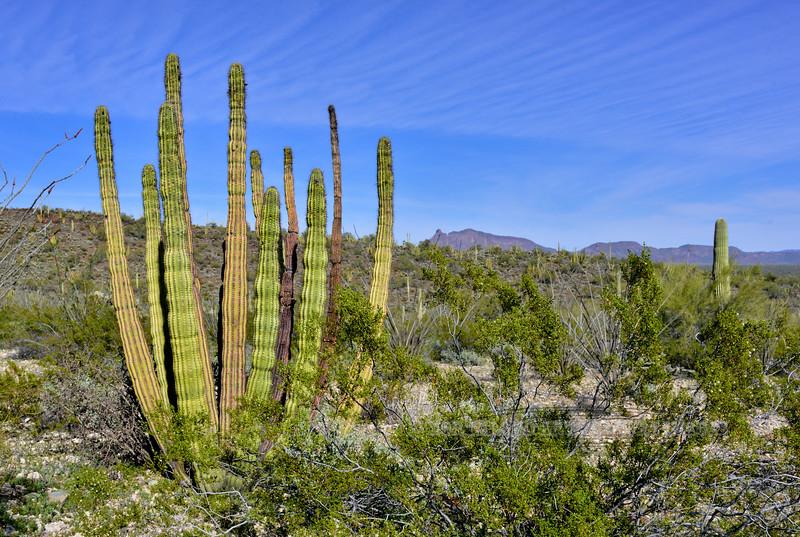 AZ-CTS-Stenocereus therberi 2019.3.5#103, the Organ Pipe Cactus. Organ Pipe Cactus NM, Arizona.