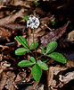 PA-F-Panax tripholius 2016.5.12#007.3. Dwarf Ginseng. Pike County, Pennsylvania.