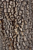 AZ-TS-Juniperus deppeana 2021.7.26#7079.2. Alligator Juniper. In woods near the summit of Mingus Mountain, Yavapai County Arizona.