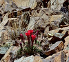 AZ-CTS-Echinocereus coccineus 2018.5.28#025. The Claret Cup or Scarlet Hedgehog cactus. Mingus Mountain Arizona.