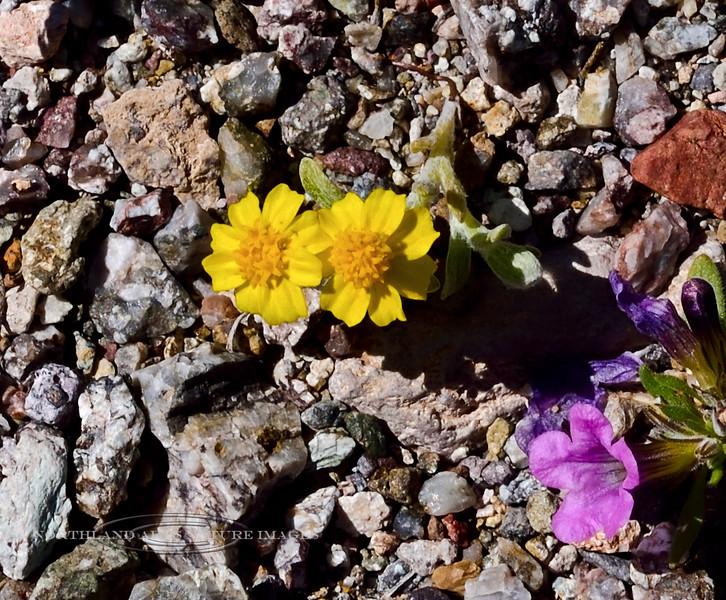 NV-F-Eriophyllum wallacei 2020.4.15#7248.4. Wallace's Woolly Daisy. Newberry Mountains Nevada.