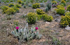 AZ-CTS-Opuntia polycantha var. erinacea 2020.5.5#1733.4. Mohave Prickly pear cactus. Detrital Valley west of Dolan Springs Arizona.