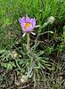 WY-F-Erigeron grandiflorus 2019.6.20#1202, the Large-flower Fleabane. Lamar Valley, Yellowstone Park Wyoming.