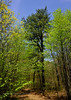 PA-TS-Pinus rigida 2016.5.12#105.2. Pitch Pine. Pike County Pennsylvania.