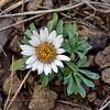 AZ-F-Townsendia exscapa 2019.5.11#102.3. Stemless Townsend Daisy, uncommon. Mingus Mountain Arizona.