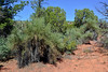 AZ-TS-Canotia holacantha 2019.9.21#392.2. The Crucifixion Thorn. Red Rock Country south east of Sedona Arizona.