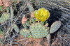 UT-CTS-Opuntia fragilis 2019.6.17#336, the Fragile or Brittle Prickly Pear Cactus. Route 89, Sand Hills area, east of Zion Park Utah.