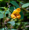 PA-F-Impatiens campensis 2020.9.15#0923.3. Jewelweed or Spotted Touch-Me-Not.