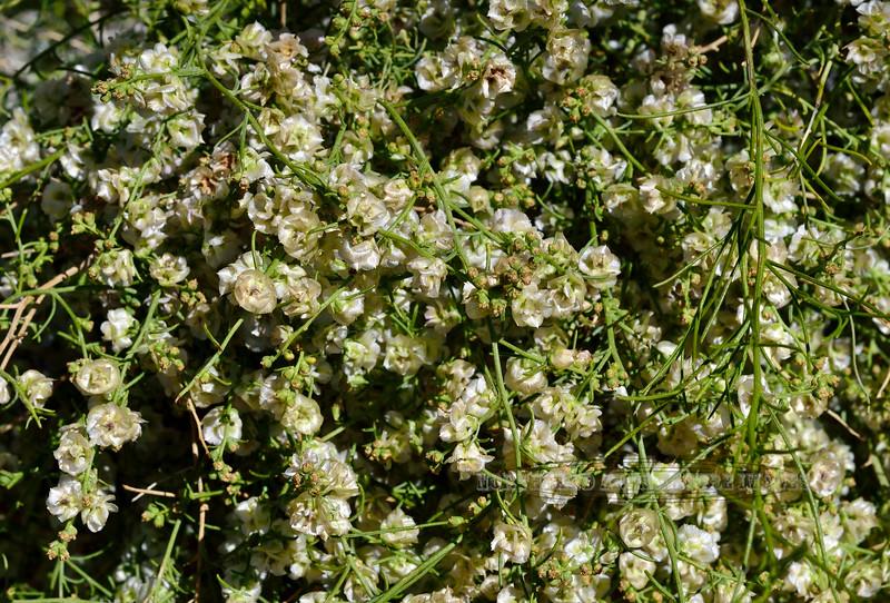 NV-TS-Ambrosia salsola 2020.4.15#7269.4. White Burro Brush. Newberry Mountains near Christmas Tree Pass Nevada.