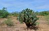 AZ-CTS-Opuntia chlorotica 2020.5.22#3113.3. Pancake Prickly Pear cactus. Route 71 southwest of Congress Arizona.
