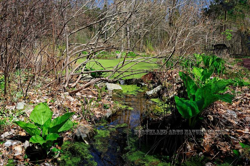 PA-F-Symplocarpus foetidus 2008.4.17#281.2. Skunk Cabbage. Bowman's Hill, Bucks County Pennsylvania.