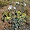 AZ-F-Argemone pleiacantha 2017.5.27#956, the Arizona Prickly Poppy. Mingus Mountain foothills, Arizona.