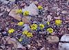 AZ-F-Physaria species 2019.5.30#195.3. Bladderpod species. South rim of the Grand Canyon Arizona.