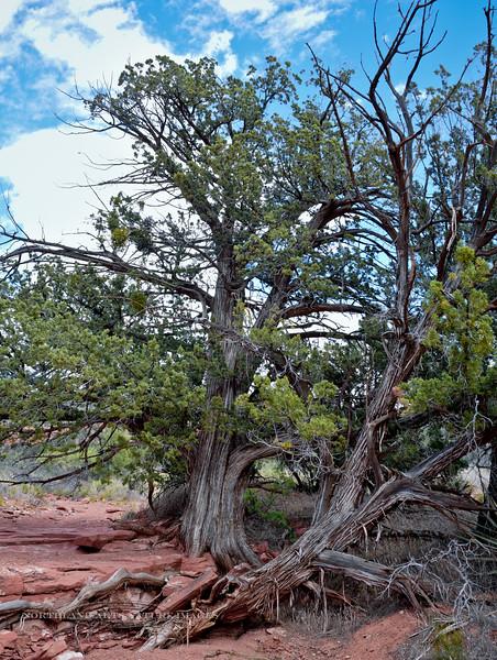 AZ-TS-Juniperus osteosperma 2016.4.25#218. Utah Juniper. Red Rock State Park, Arizona.