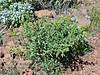 AZ-TS-Ambrosia deltoidea 2020.3.20#7780.3. Triangle-leaf Bursage. Lake Pleasant Arizona.