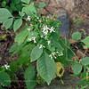 PA-F-Eurybia divaricata 2020.9.14#0276.2. White Wood Aster. Lower Tinicum Township, Bucks County Pennsylvania.