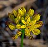 AZ-F-Triteleia lemmoniae 2019.6.5#312.3. The Lemmon's Star, a rare plant. North of Strawberry Arizona.