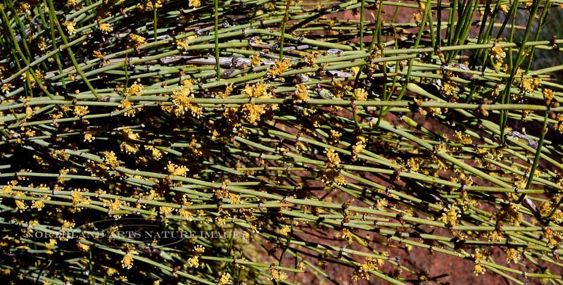 AZ-TS-Ephedra viridis 2019.4.19#618, the Mormon Tea. Verde Valley Arizona.