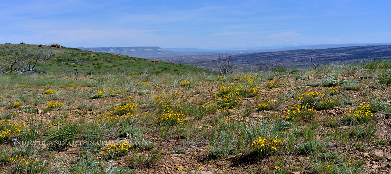 WY-F-Haplopappus acaulis 2019.6.19#1041, the Cushion Goldenweed on a high ridge east side of Flaming Gorge Wyoming.