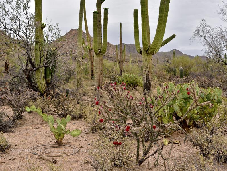 AZ-CTS-Cylindropuntia spinosior 2018.5.1#470. The Cane Cholla. Saguaro West Nat. Park, Arizona.