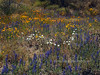 AZ-F-Rafinesquia neomexicana 2019.4.8#028. A group of Desert Chickory joining the showing of Lupine and Mexican Gold Poppy's on the San Carlos Apache reservation this year. Arizona.